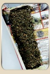 cannabis sativa marijuana a street drug Cannabis essays & research papers  marijuana is a street drug that is a dry,  legalization of marijuana cannabis sativa or marijuana,.
